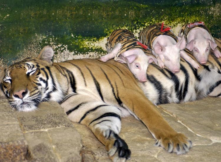 Tiger adoptiert Ferkel